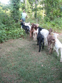 Alix Bowman leads her her goats into the thicket (photos by Allen Spalt)