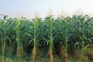 corn-and-weeds