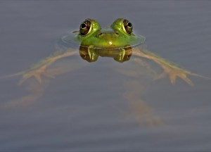 water-frog