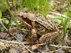 Common_Frog(Norway)