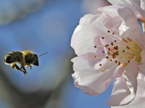 bee-almond-blossom