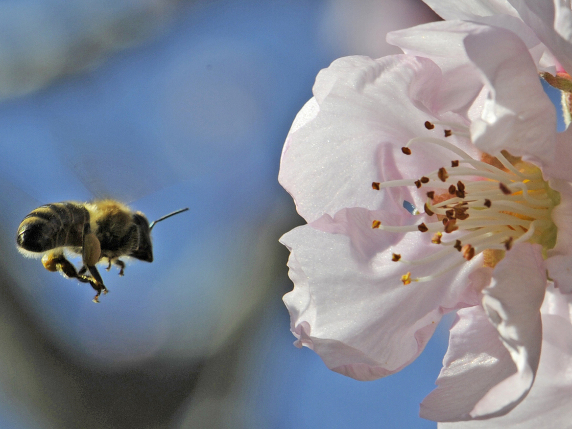bee-almond-blossom