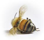 dead bee- fade