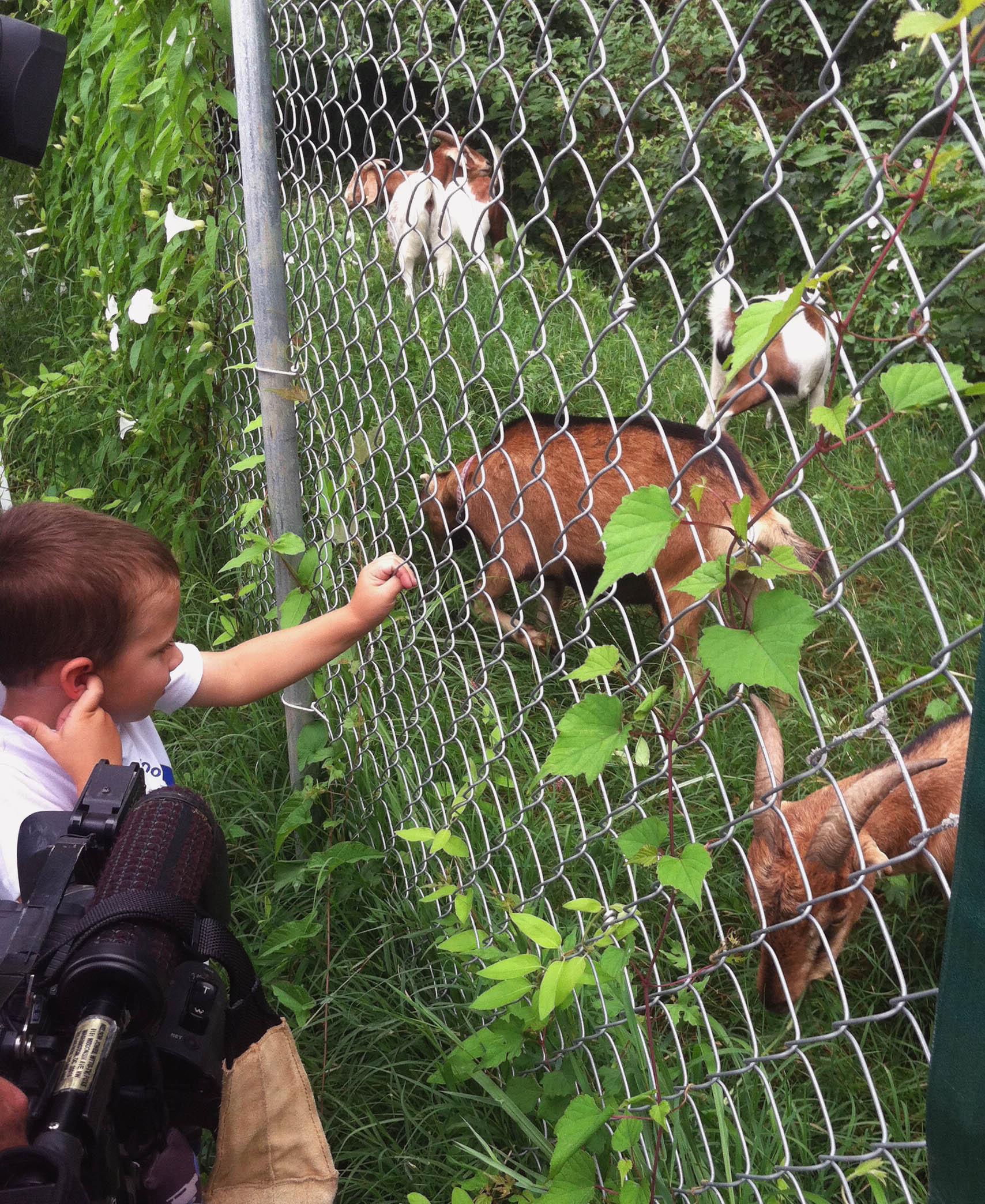 beyond pesticides daily news blog  u00bb blog archive goats replace herbicides at historic washington
