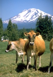 cow mountain