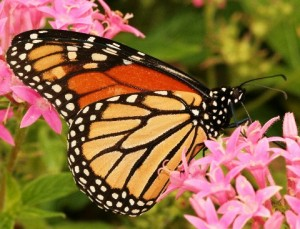 Monarch-Picture-10-14-11