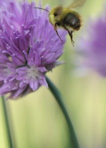 Gina Howe Kent WA Bees and Chives in Kent Wa3
