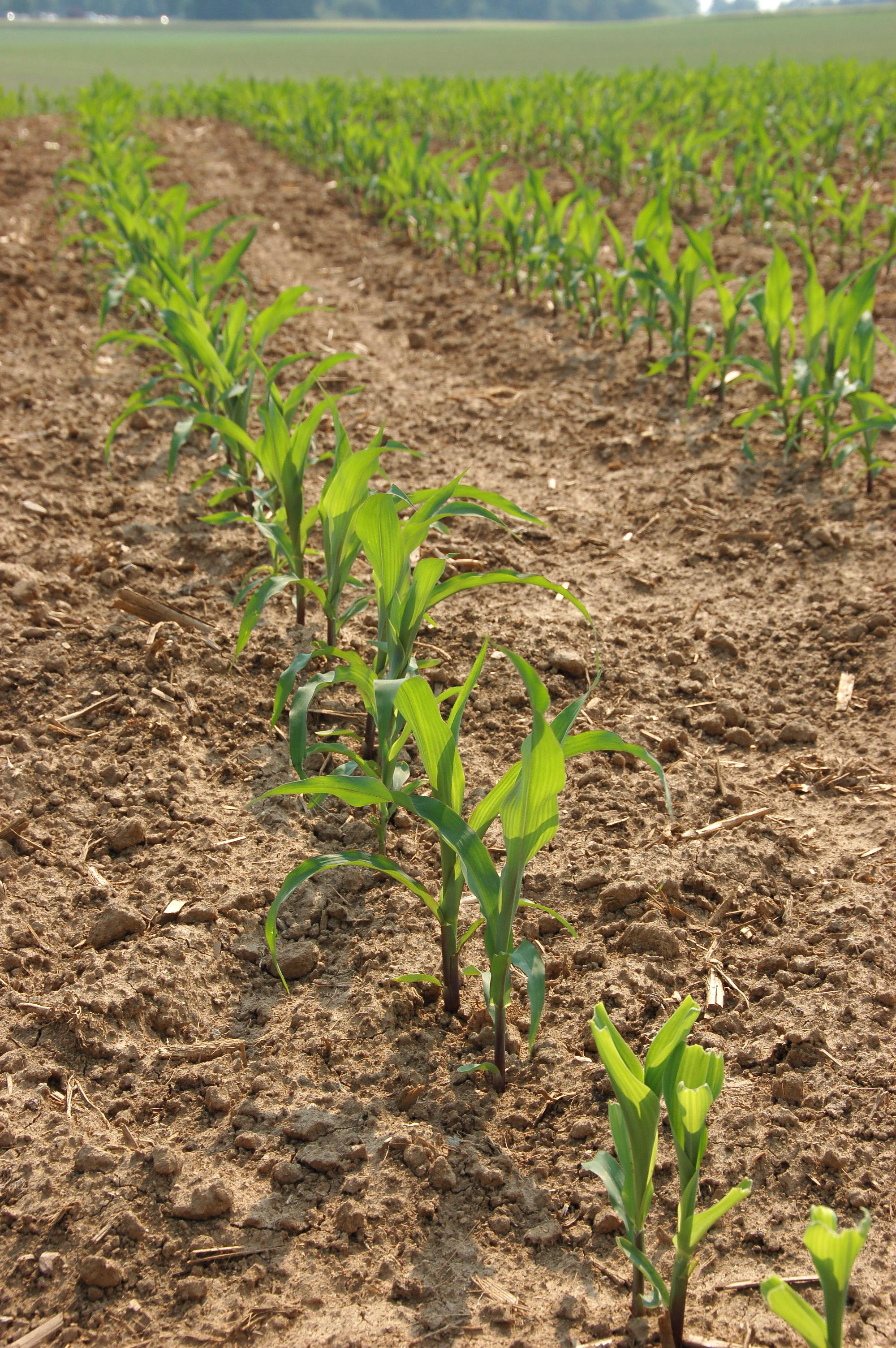 Corn_Zea_mays_Plant_Row_2000px