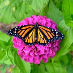 Diane St John Durham CT We planted a lot of Zinnia seeds and look who came over!