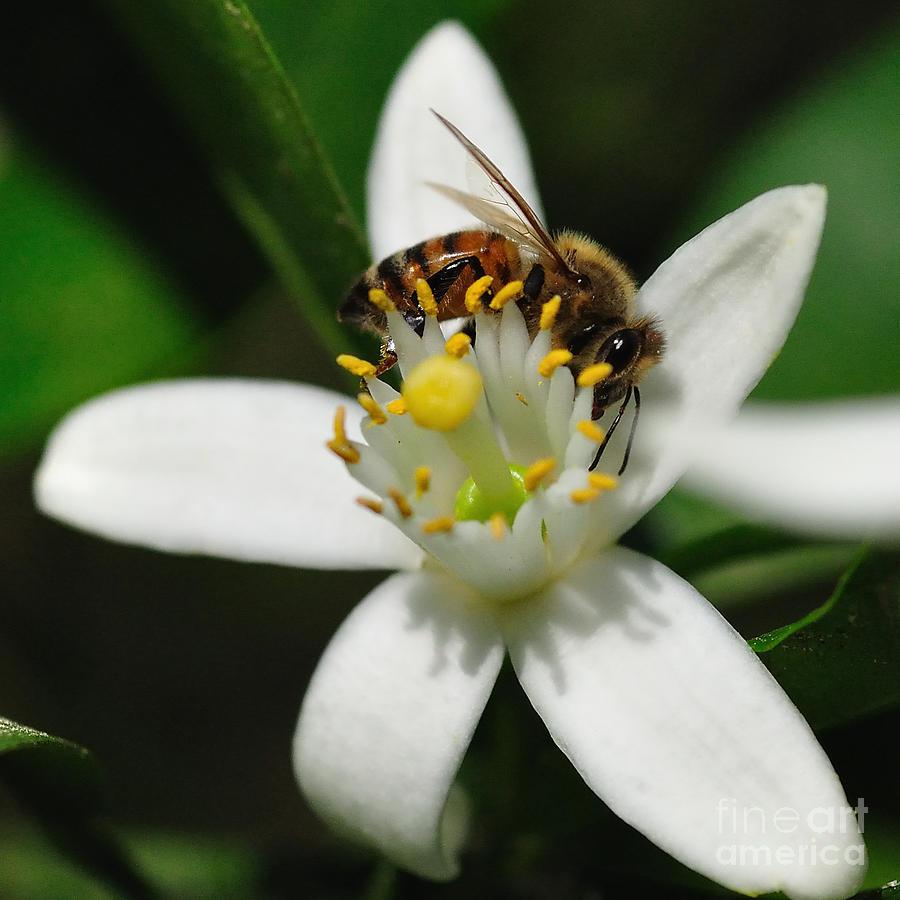 honey-bee-encircling-orange-blossom-wayne-nielsen