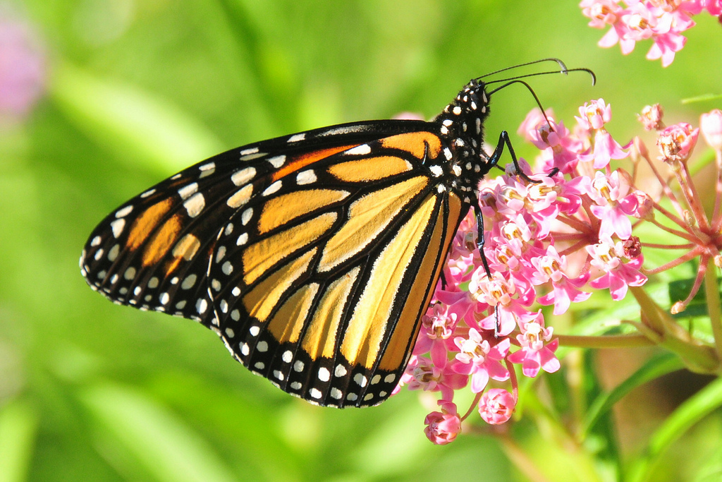 monarch adn milkweed