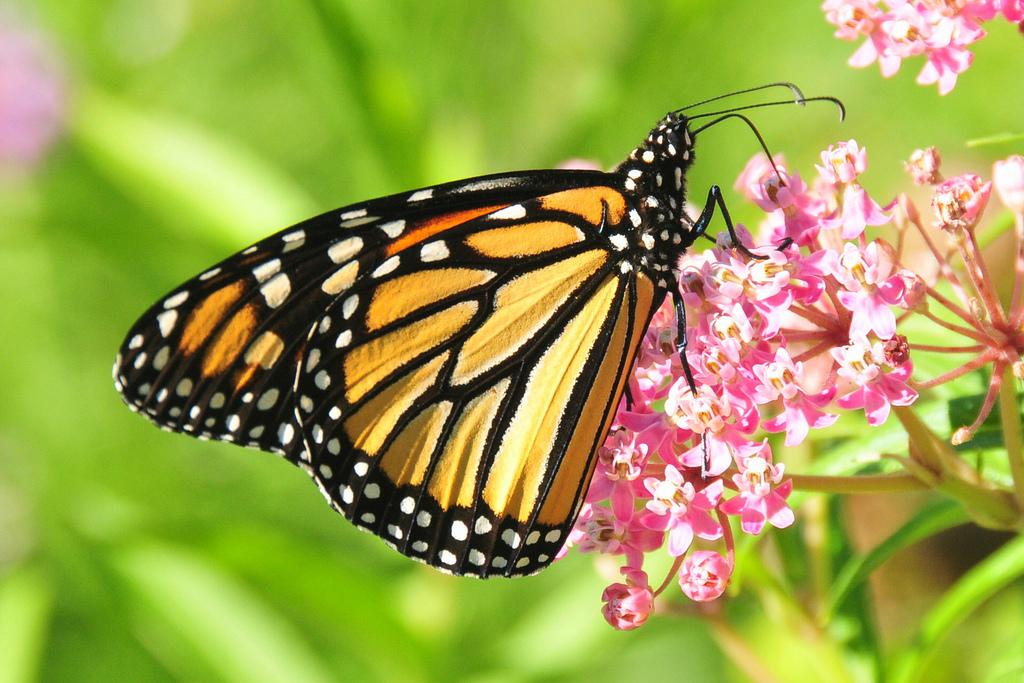 monarch adn milkweed
