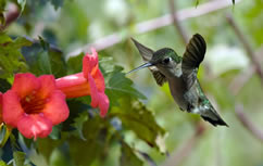 A rubythroated hummingbird drinks from a trumpet creeper vine